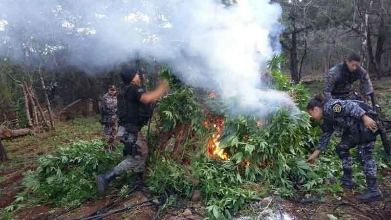 La Fuerza Única regional destruyen  más de 36 mil plantas de marihuana