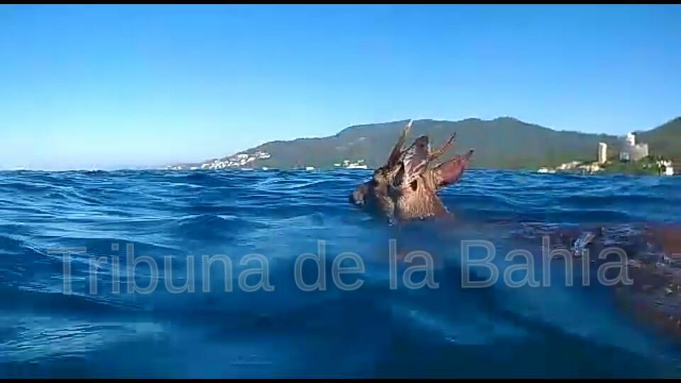 Elementos de Protección Civil Puerto Vallarta rescataron un venado cola blanca