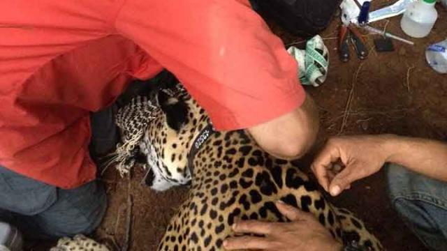 Colocan Primer Collar GPS a  un Jaguar en Riviera Nayarit