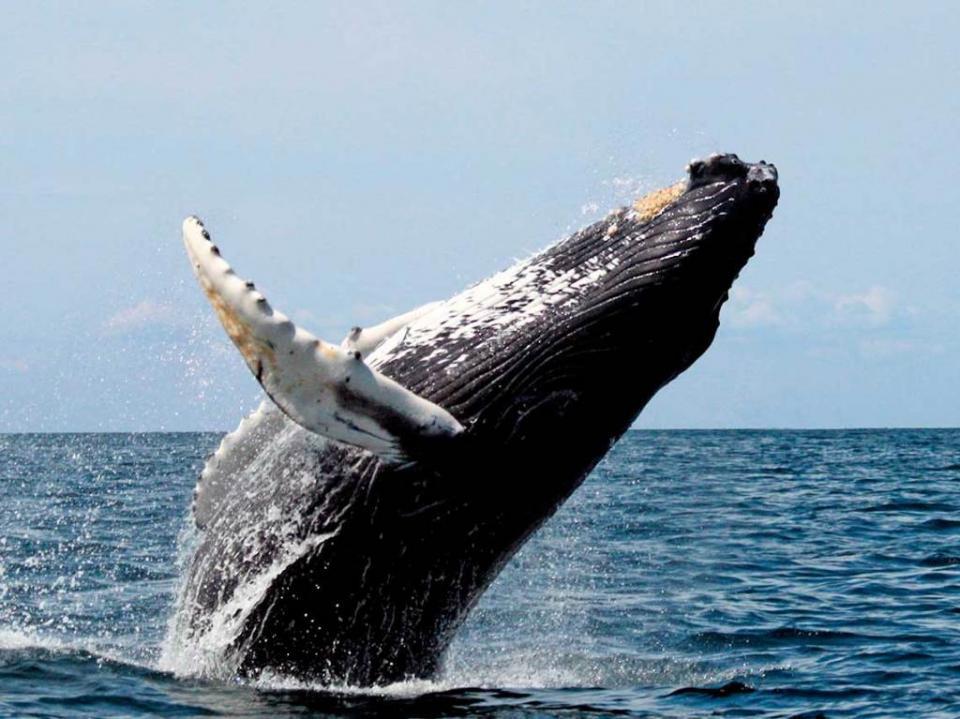 Solicita ECOBAC donativos para monitorear ballenas esta temporada