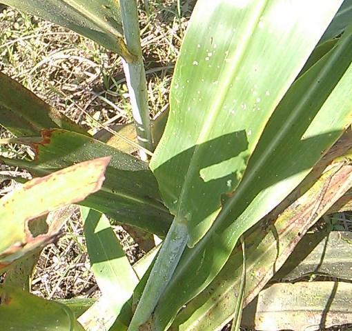 El Pulgón Amarillo, amenaza con  destruir los sorgos en la región