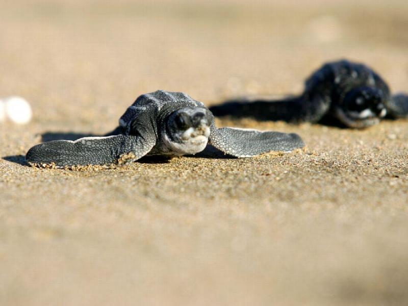 Cifras record de protección a la  tortuga marina en Hotel Marriott
