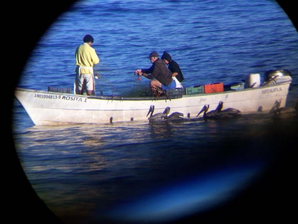 Ausente CONAPESCA ante muertes de  ballenas, delfines y tortugas entre chinchorros