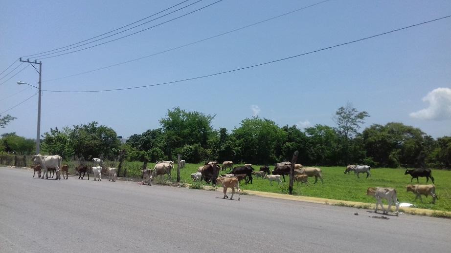 Pretende Desarrollo Rural potencializar  económicamente la ganadería