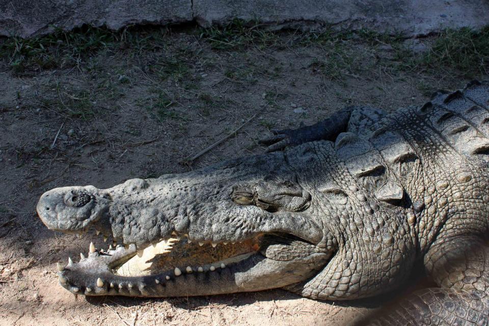 Afectan a población de cocodrilos en Vallarta y Bahía de Banderas