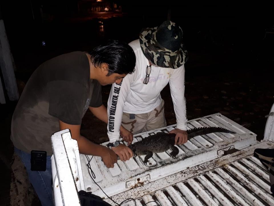Capturan pequeño cocodrilo  en aguas del río Cuale