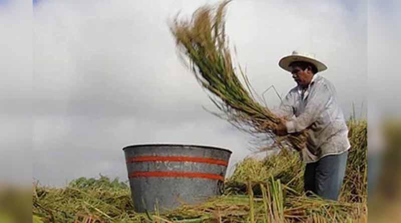 Productores de arroz en Morelos buscan crear consejo certificador