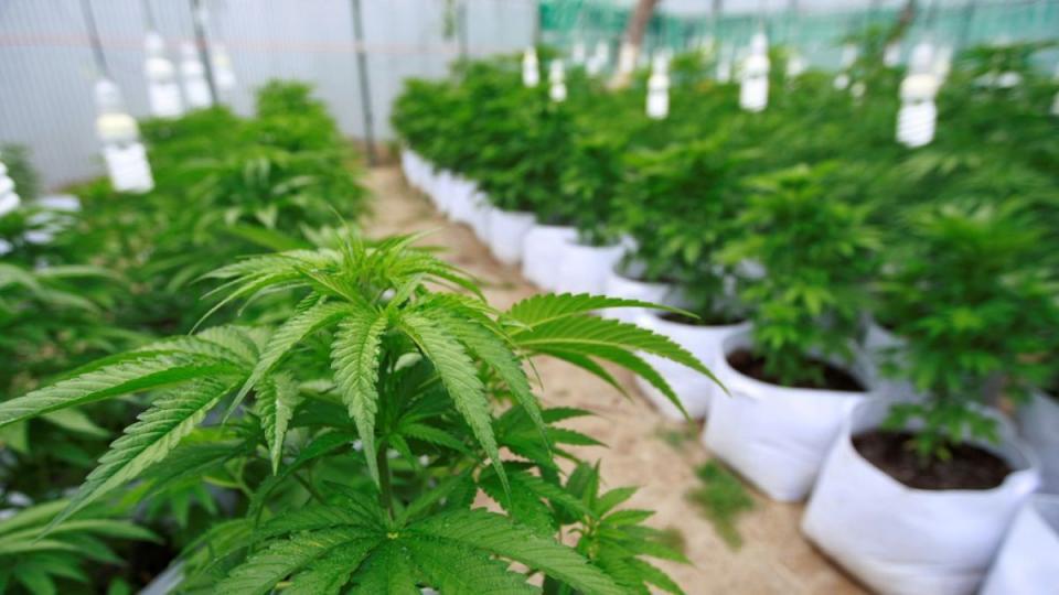 A favor de legalizar la Marihuana pero que este controlada: Sondeo