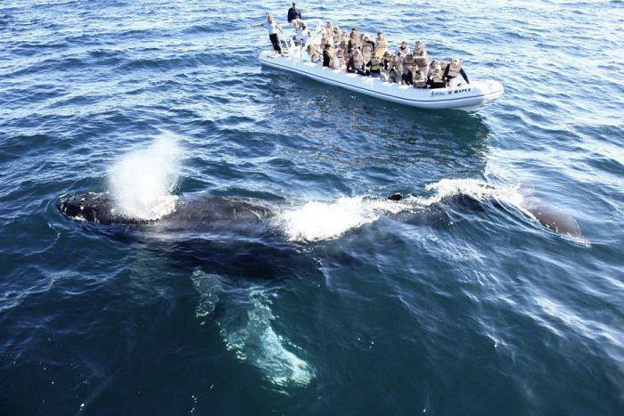 En marcha, la temporada de observación de la ballena jorobada