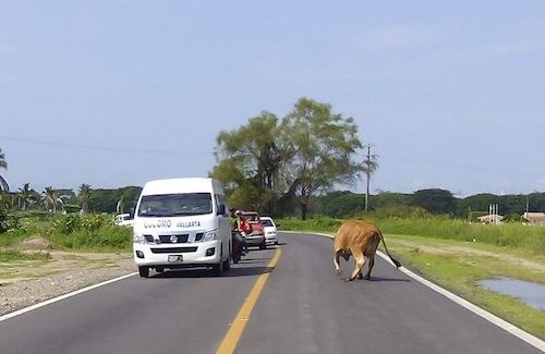 Pondrán orden al ganado suelto que anda por las calles en Bahía de Banderas