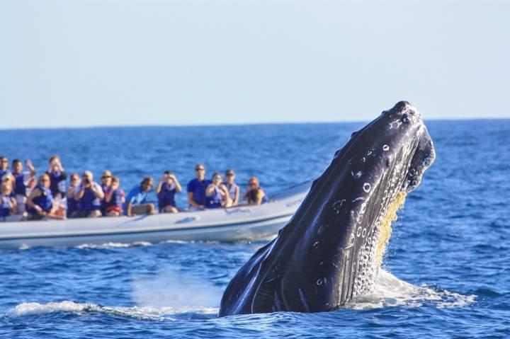 La Bahía de Banderas recibe más de 50 ballenas cada temporada