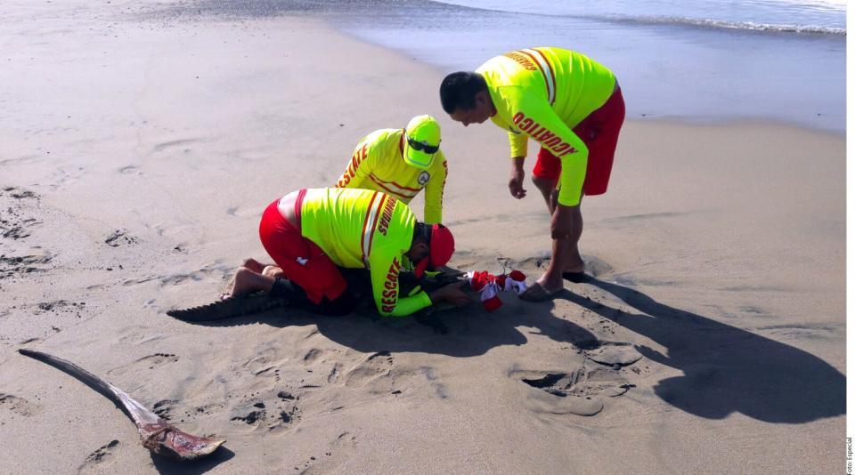 Urge en playa de Jalisco  control de cocodrilos