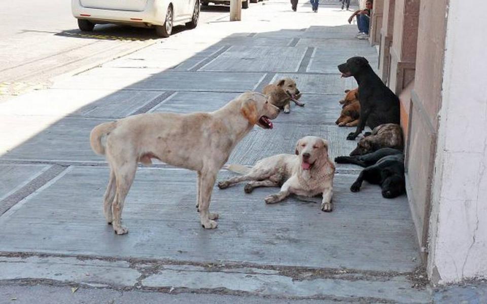 Sigue apareciendo más perros en las calles de Bahía de Banderas