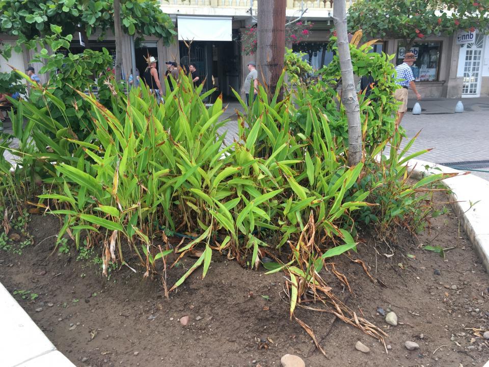 Afecta la brisa salada  plantas del malecón