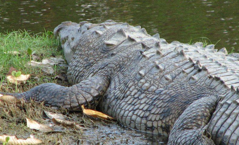 Rechazan que cocodrilios estén fuera de control
