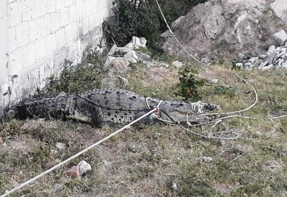 Capturan cocodrilo  en Villas Universidad
