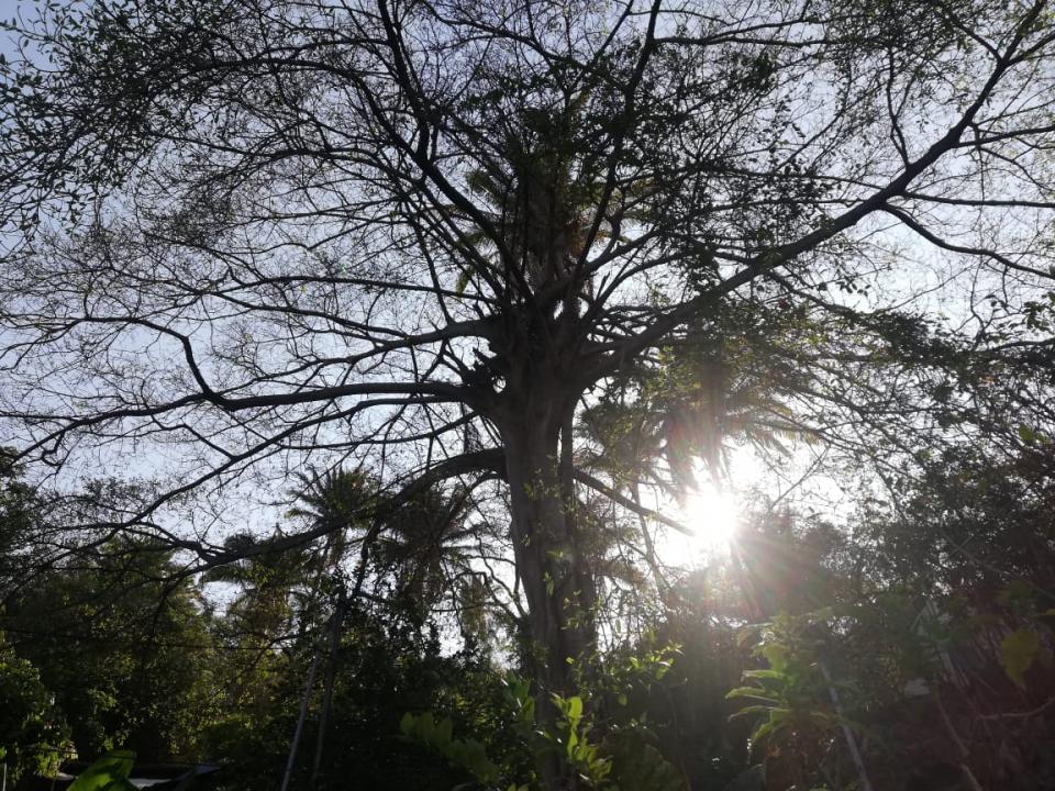 Vecinos piden a Parques yJardines la poda de árbol