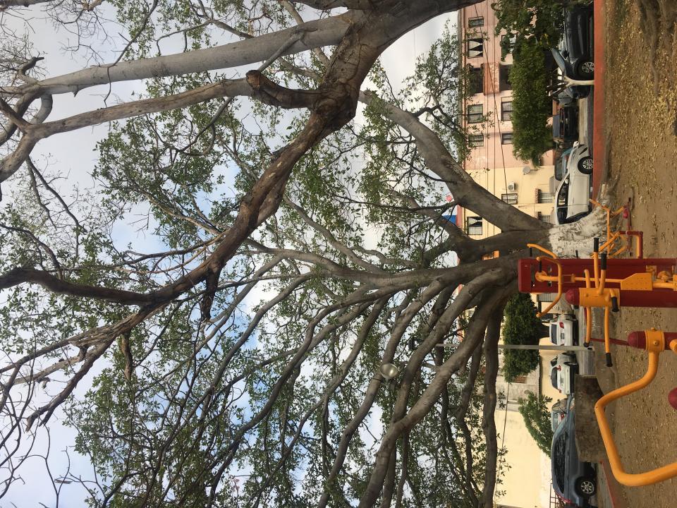 Árbol amenaza a usuariosde parque en Los Sauces