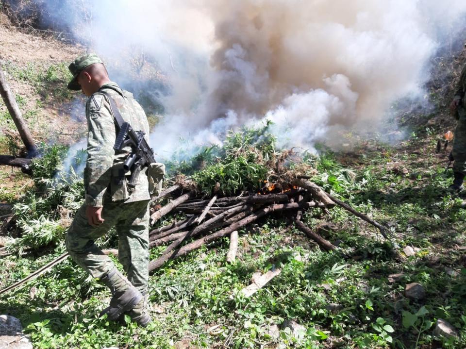 Destruyen cinco plantíos de marihuana en la sierra
