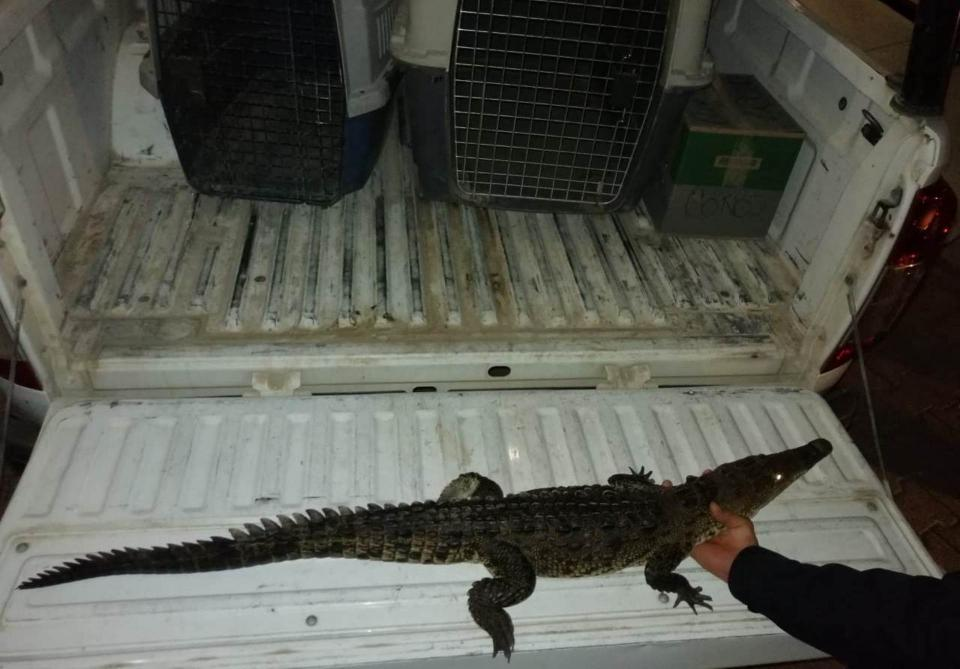 Rescatan cocodrilo en Marina Vallarta