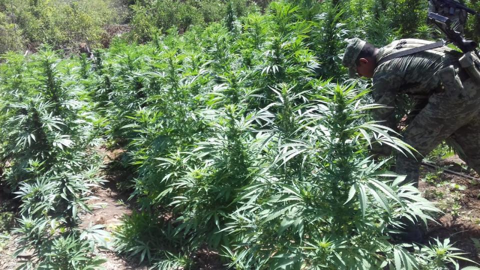 Destruyen marihuana