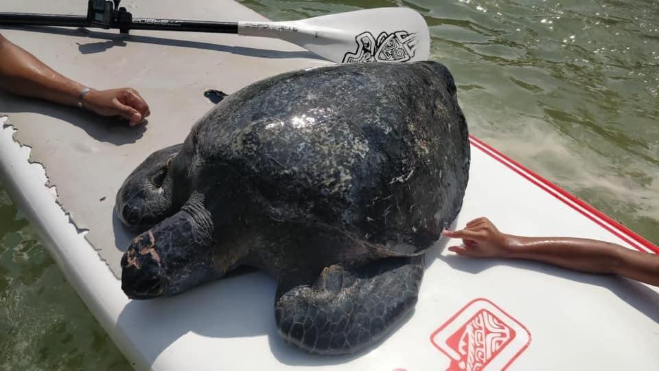 Necesario protección de propelas para evitar accidentes con tortugas marinas