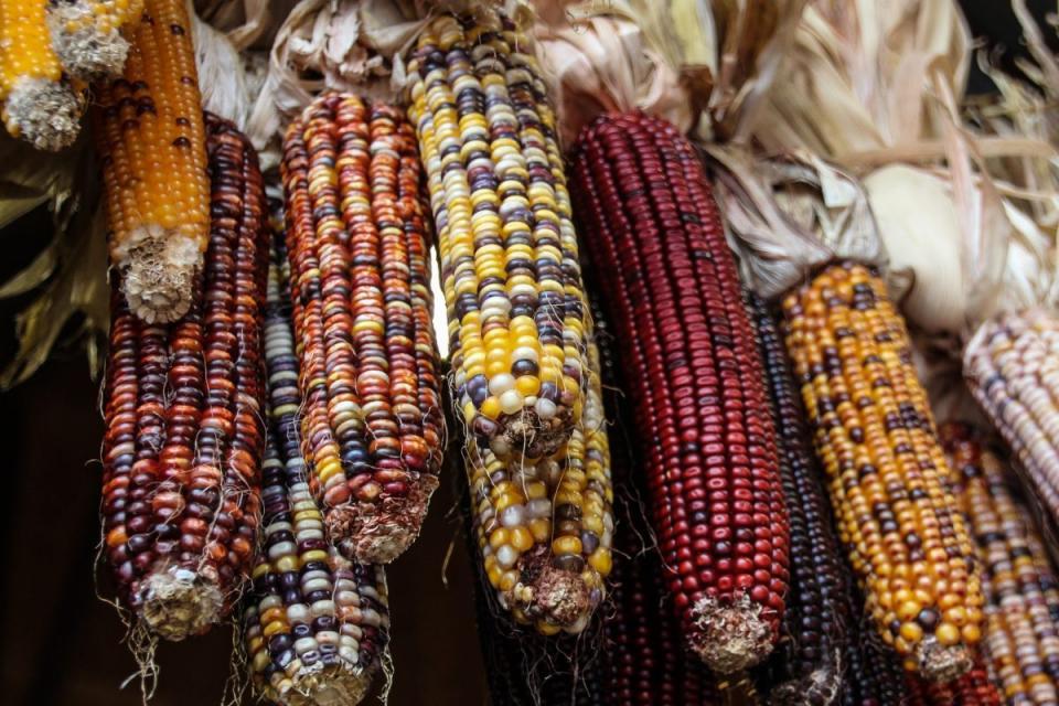 Invita la UTBB al primerfestival del maíz
