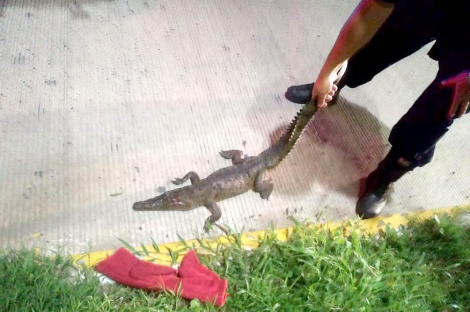 Atropellan a cocodrilo en Marina Vallarta, pero sobrevive