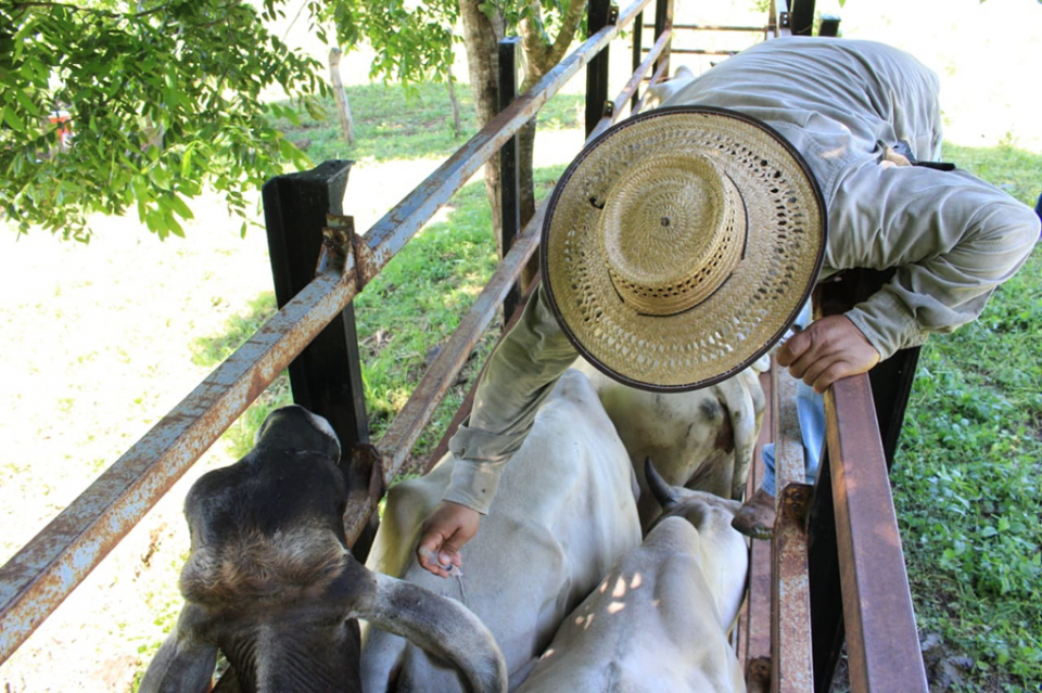 Concluye con éxito histórico programa de vacunación bovina