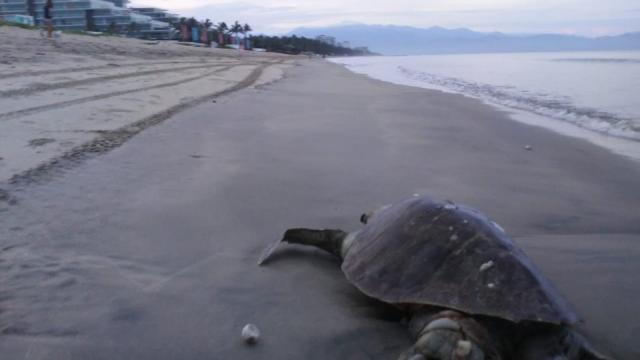 Denuncia muerte de tortuga, la destazan por robar huevos