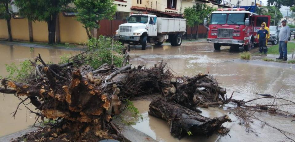 Cae árbol en calles de la colonia Aralias