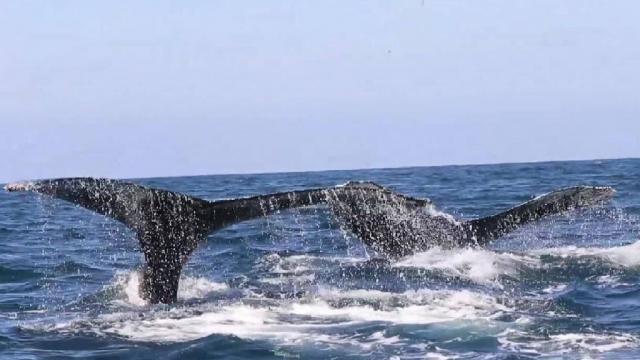 Actúa Profepa contra quienes violen observación de ballenas
