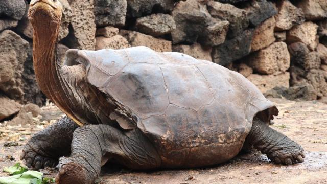 Diego, la tortuga que salvó a su especie