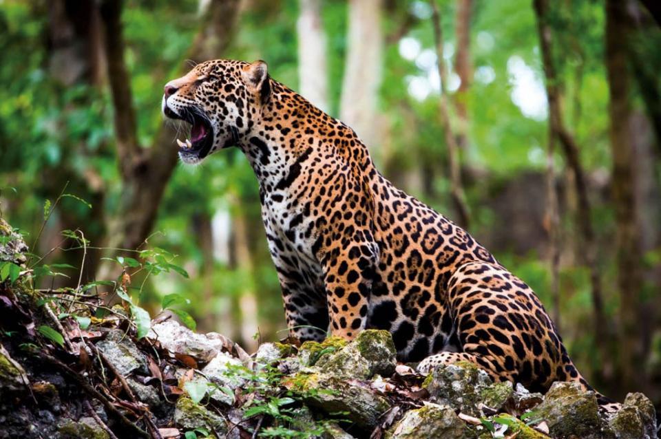 Amenaza al jaguar la construcción en su hábitat