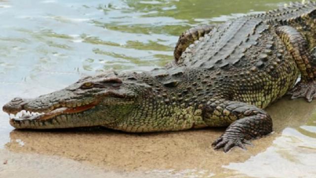 Normal que se muevan los cocodrilos por la bahía; pero se debe tener cuidado