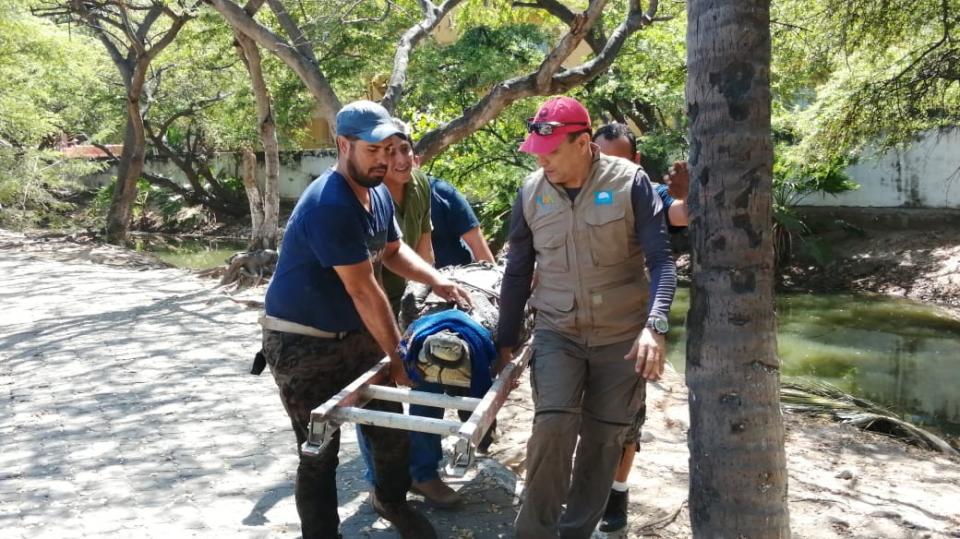 Capturan cocodrilo en Los Tules
