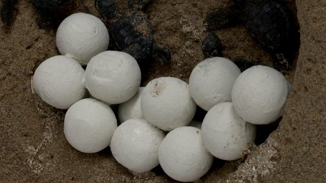 Huevos de tortuga marina