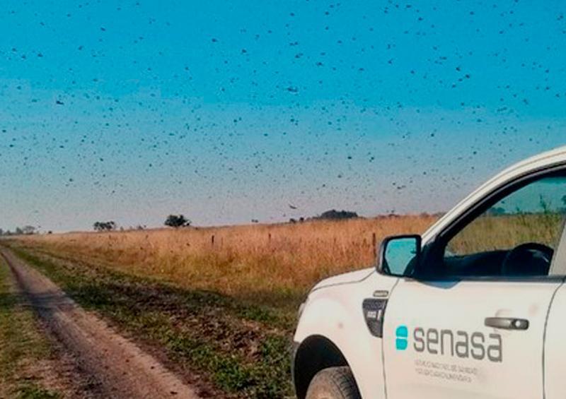 Emergencia fitosanitaria en Brasil ante plaga de langostas