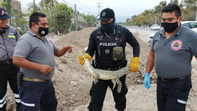 Rescatan a pequeño cocodrilo por Mojoneras