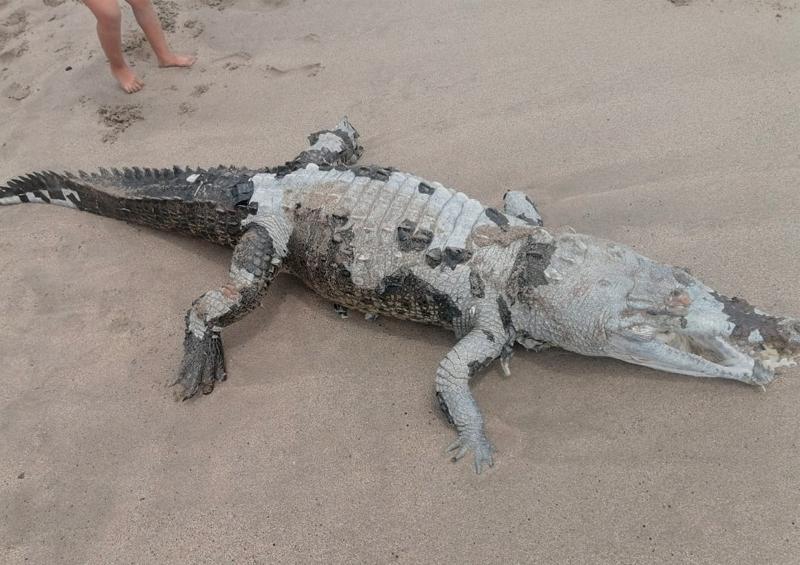 Localizan cadáver de cocodrilo en Playa de Oro