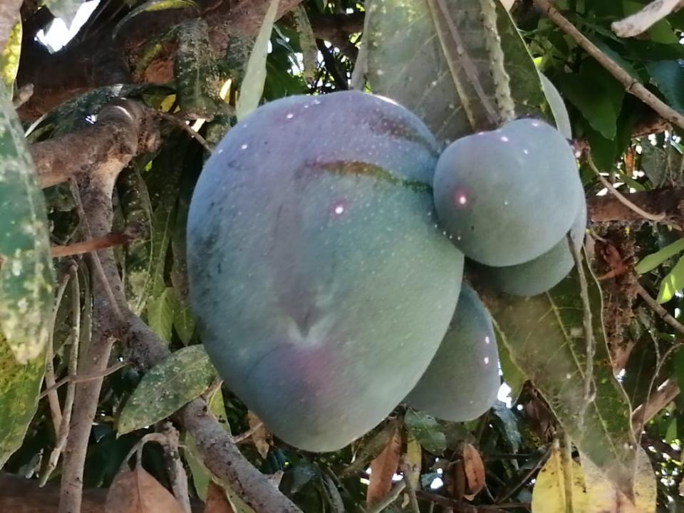 Plaga en mangos