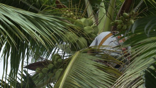 Trabajadores podando palmeras