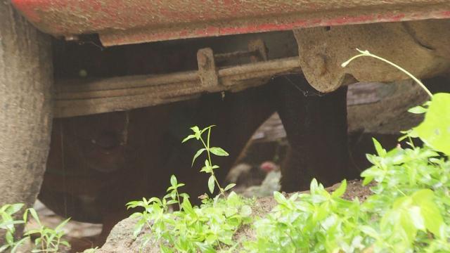 Pitbull amarrado debajo de una camioneta