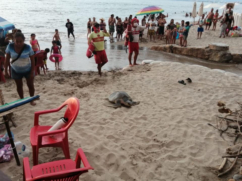 Tortuga desovando en playa de Puerto Vallarta