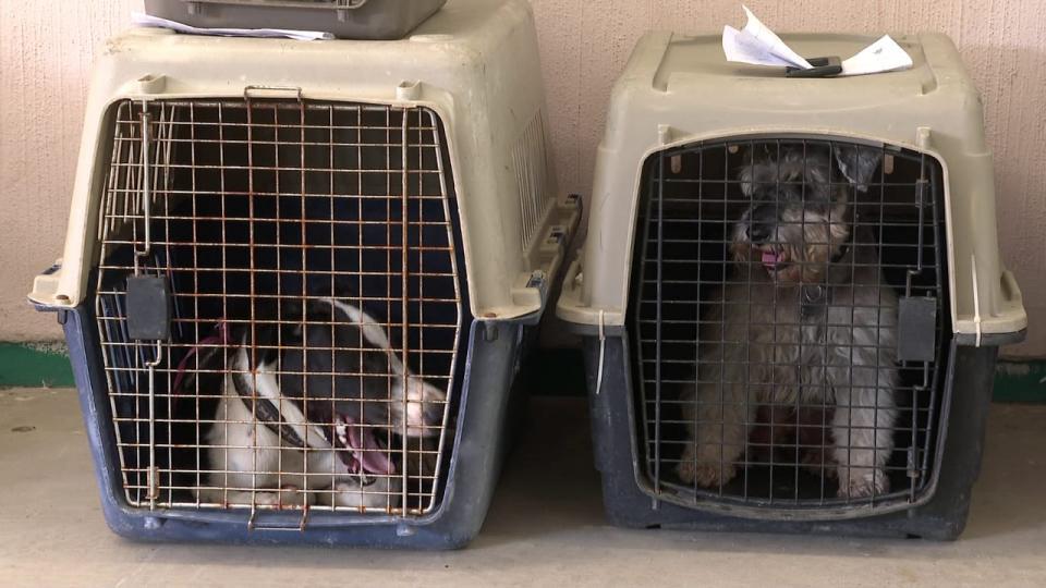 Dos perros en transportadoras