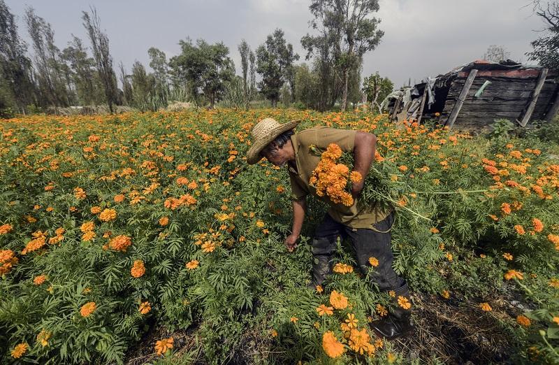 Productores de flor de cempasúchil