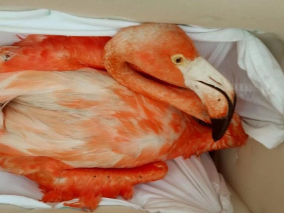 Flamingo en Mérida