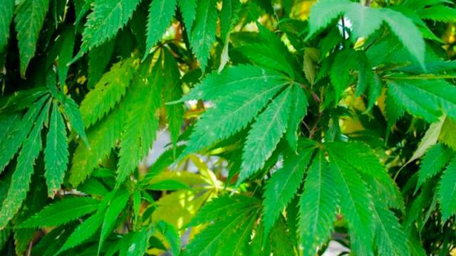 Diputados mexicanos discutirán en febrero consumo lúdico de marihuana