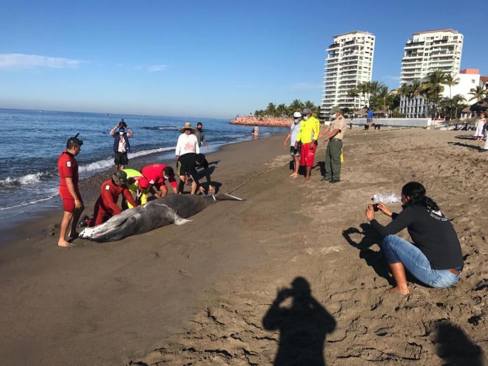 Ballenas encontradas en playas de Puerto Vallarta