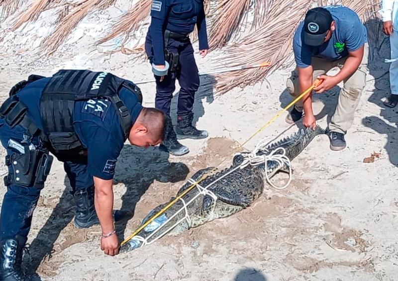 Atrapan cocodrilo en la playa del Holi en Vallarta
